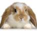 lapin blanc et roux à grandes oreilles tombantes